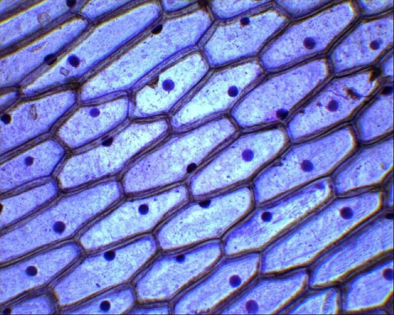 Клетки эпидерми под микроскопом